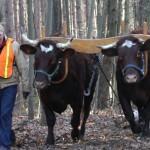 Oxen Deliver Wood