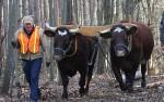 Oxen haul logs for Batts Pavilion