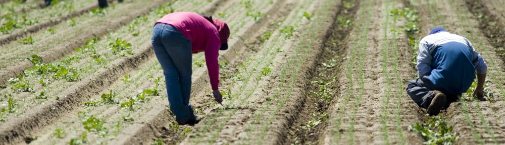 Mexican farm workers weeding in the field by hand